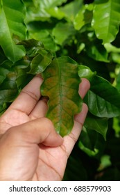 Farmer touching coffee leaf to check disease on the leaf. Hand touching leaf.