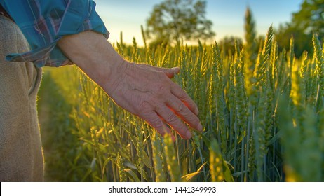 Farmer touching wheat crop out in a field.