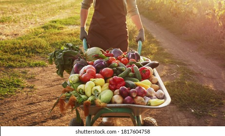 A farmer transports a crop of different vegetables in a wheelbarrow at sunset on a dirt road along a field