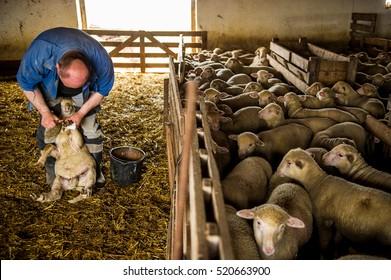Farmer trimming sheep's hoof nails