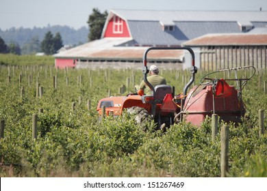 A farmer trims a blueberry field/Farmer Working Blueberry Field/A farmer uses his tractor to cut trim blueberry bushes in preparation for harvesting.