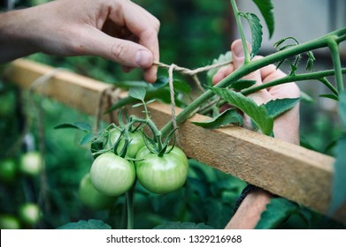 Farmer tying up by rope green tomatoes in his greenhouse close up shot