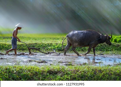 Farmer using buffalo plowing rice field,Asian man using the buffalo to plow for rice plant in rainy season,Rural Countryside of Vietnam,