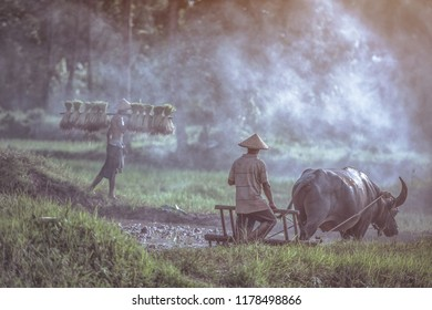 Farmer using buffalo plowing rice field,Asian man using the buffalo to plow for rice plant in rainy season,Rural Countryside of Thailand