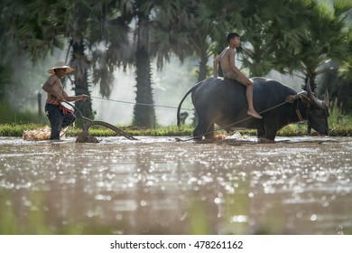 Farmer using buffalo plowing rice field,Asian man standing with his son sitting on a buffalo in the rice field,Father teaching his son using the buffalo to plow for rice plant in rainy season,Thailand