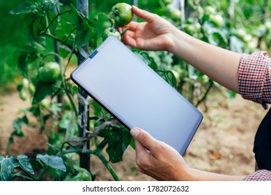 Farmer using digital tablet computer in greenhouse with tomatoes plants. Modern technology application in agricultural growing activity