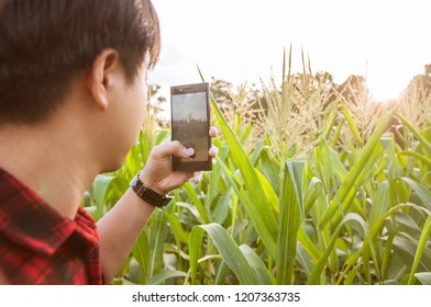 Farmer using smartphone for detecting his crops while working in cornfield, Innovation technology for smart farm system, Agriculture management, Digital agriculture