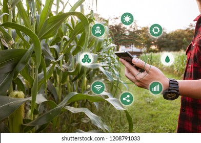 Farmer using smartphone for detecting his crops while working in cornfield, Innovation technology for smart farm system, Agriculture management