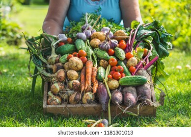 Farmer with vegetables in the box, farm fresh vegetable harvest or garden produce. Organic farming concept.