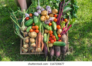Farmer with vegetables in wooden box, vegetable harvest or garden produce. Organic farming concept.