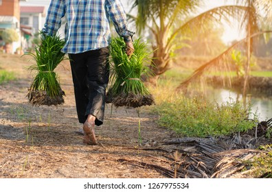 Farmer walk holding sapling of rice in field ,Rear view and copy space. A farmer walking in the rice field and In rural of Thailand.