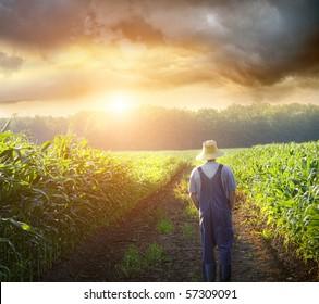 Farmer walking in corn fields with beautiful sunset