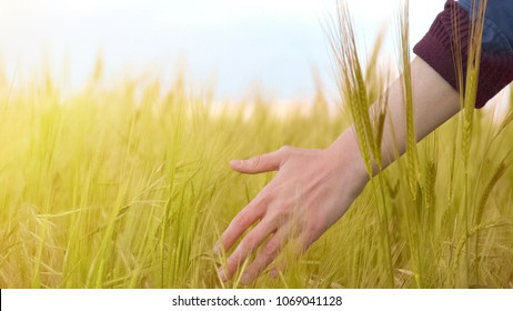 Farmer walking in field touching dry wheat, harvest season, agriculture business, stock footage