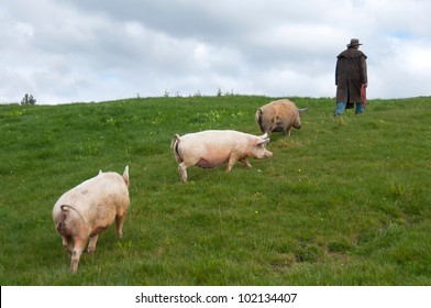 Farmer walking with pigs in a paddock on a farm