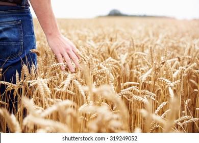 Farmer Walking Through Field Checking Wheat Crop
