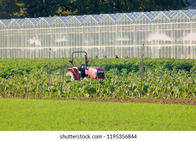 A farmer watches his laborers as he drives his tractor in a vegetable crop growing beside a greenhouse.