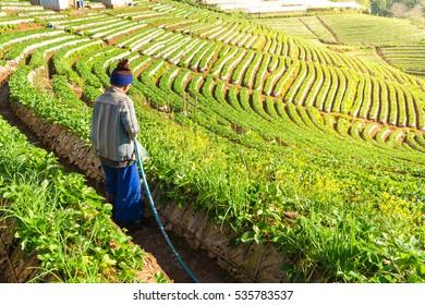 Farmer watering the strawberry farm field.