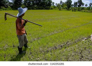 The farmer wearing the boots and a hat hold a hoe on his shoulder and looking at a rice field which growing on the cracked ground.