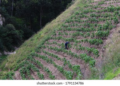 Farmer weeding his mais field that is located on a very steep hill in the Andes of Ecuador, South America