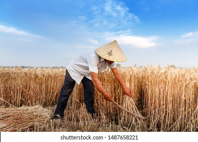 A farmer in the wheat field used a sickle to harvest wheat.