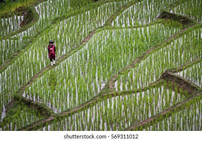 Farmer with withe rubber boots walking alone in terraced paddy fields during raining season in chiang mai, thailand
