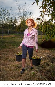 Farmer woman carrying buckets with ripe walnuts from the orchard