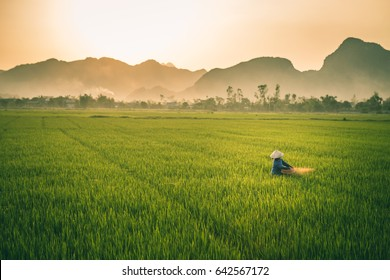 Farmer woman cultivating rice at the rice farms in Vietnam during sunset with mountain in the background