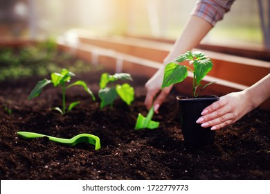 Farmer woman hands planting sprouting vegetable seedling out of pot in soil working with rake and shovel in garden bed greenhouse at spring sunlight. Growing fresh greenery, organic gardening concept.