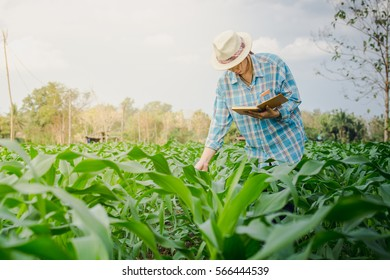 farmer woman inspecting corn by hand in agriculture garden.
