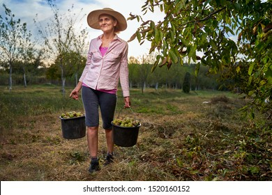 Farmer woman picking walnuts at harvest time in the orchard
