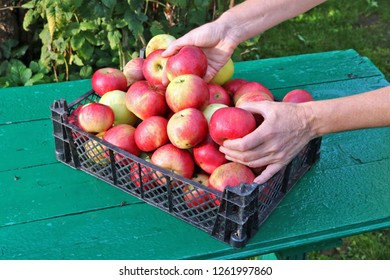 Farmer woman  separate apples in plastic box on a green rural garden  table