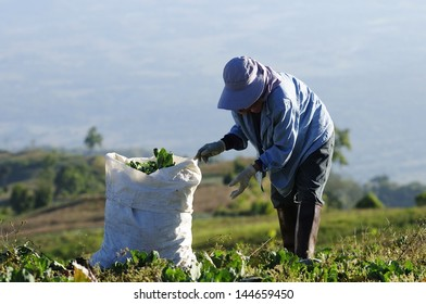 farmer work in the cabbage field