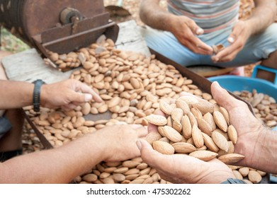 Farmer at work holding a little heap of almond nuts after the dehusking process, Noto, Sicily