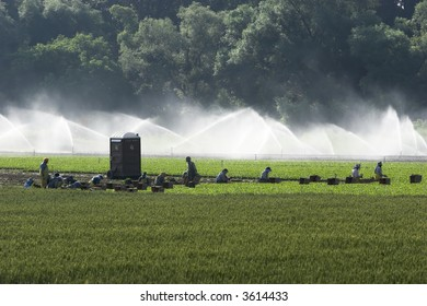 Farmer workers harvesting with a section in the background being irrigated. Backlight lighting.