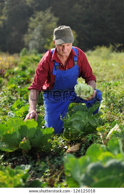 farmer working at cabbage field