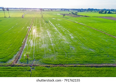 Farmer working fertilize spread in rice plantation, Agricultural industrial
