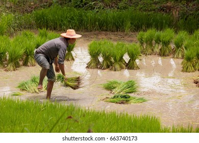Farmer working at green rice field.,Farmer in paddy fields in yasothon thailand June 20 2017
