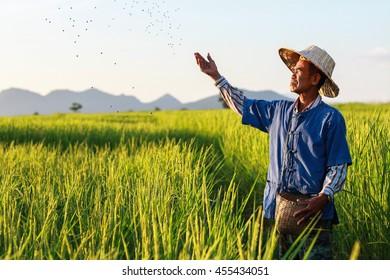 farmer working on rice field applying fertilizer.