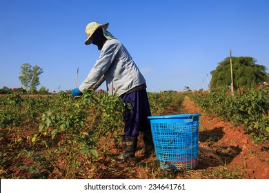 Farmer working on roses blossom flower garden.
