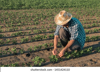 Farmer working on soybean plantation, examining crops development in early growth stages, Responsible organic farming of soya bean plants.