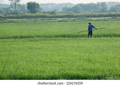 farmer working in paddy field.
