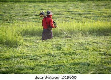 farmer working in paddy field,cutting paddy leaf.