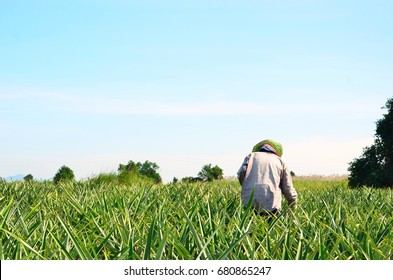 Farmer working in Pineapple farm with blue sky background