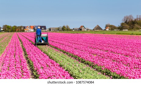 Farmer working in a tulips field on the waddenisland Texel in the Netherlands.