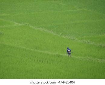 Farmer works in green rice field