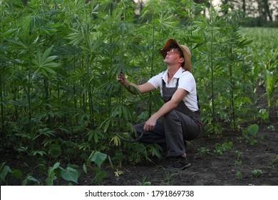 Die Bauern arbeiten auf dem Hanffeld. Schneidet überschüssige Pflanzen mit Sichel