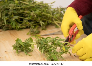 farmer with yellow gloves is trimming harvested weed on white table with Heavy Duty Shears for garden