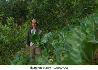 farmercutting cauliflower in an organic vegetable field.