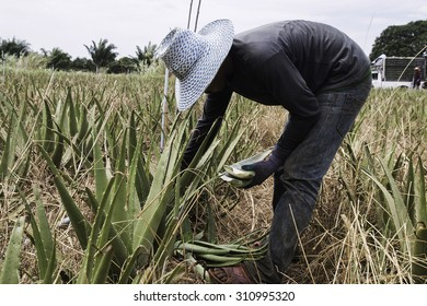 Farmers in acres of aloe with cultivation of aloe vera in Thailand.