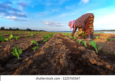 Farmers' agricultural workers growing Tobacco in their tobacco fields.Agriculturalists,Tobacco growing season,Female labor in agricultural garden.